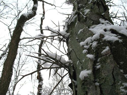 Thorn_tree